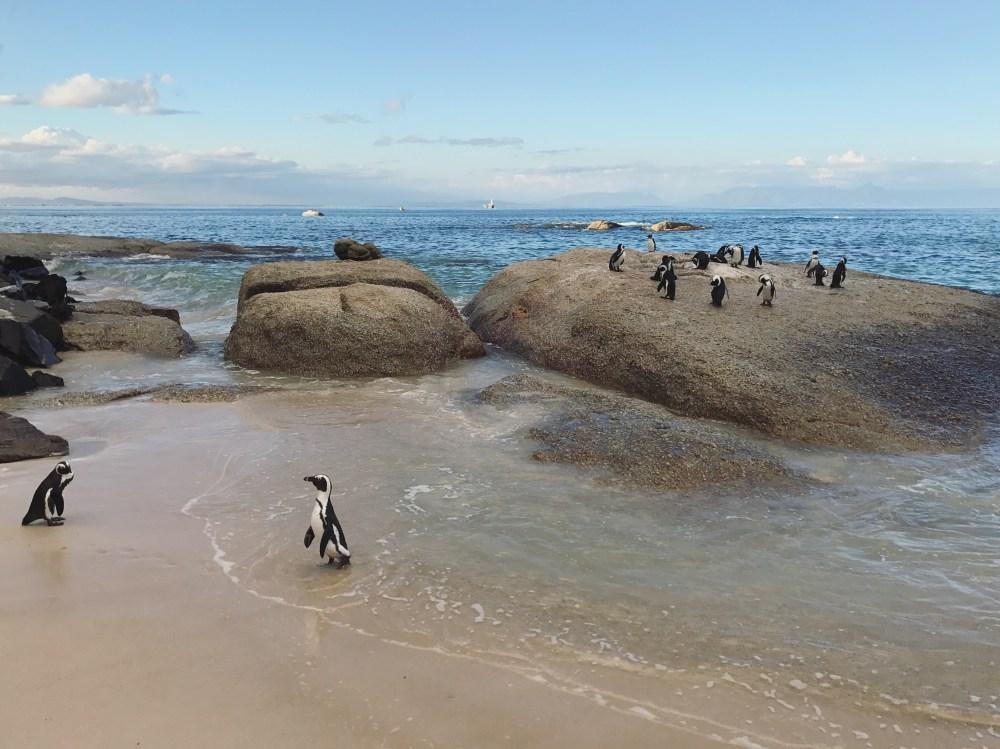 Penguin, Boulders Beach, Cape Town, South Africa