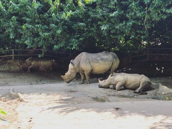 Singapore Zoo 7 - Rhino