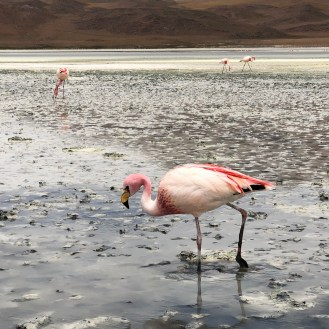 1 The Chilean, Andean, and James's Flamingo 1
