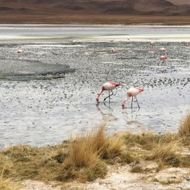 1 The Chilean, Andean, and James's Flamingo 3