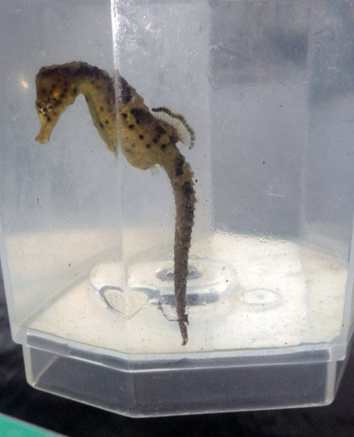 Seahorse research by Knysna Basin Project