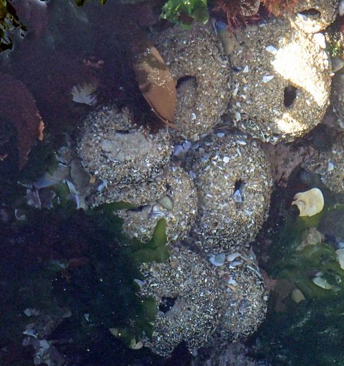 Sandy anemone (poss Bunodactis reynaudi).