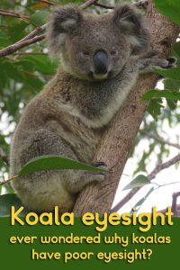 There is a reason koala eyesight is not so good over distances. Even when a koala looks directly at you, it will have heard you first, then had to find you by eye.