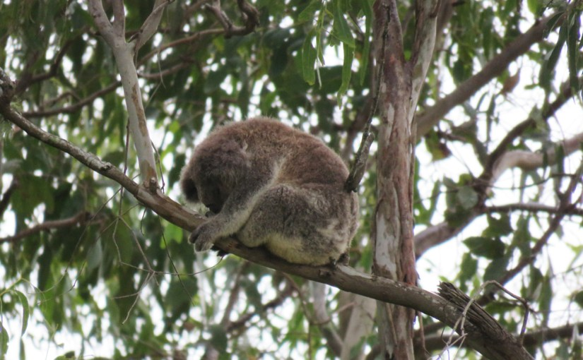 The only safe place for the koala is high in a tree as koalas do not cope well with cars and roads/