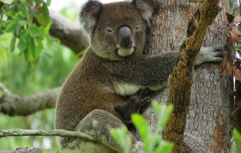 How koala eyesight impacts on them today