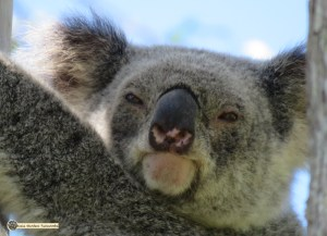 Mist showing typical female koala head and eye shape