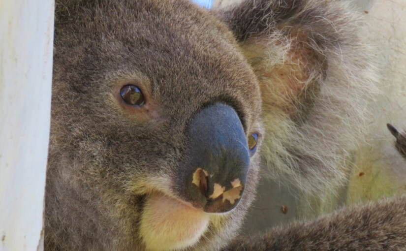 Koalas, cars and the urban setting