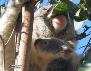 Wild koala joey learning to smell leaves while mum is eating.