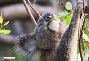 Every leaf has toxins that must be analysed before consuming. Wild male koala checking leaves while eating.