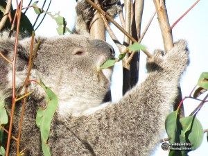 This koala is eating leaf that is spotted brown, but obviously passed the test. Eucalytpus leaves are toxic to nearly all other mammals.