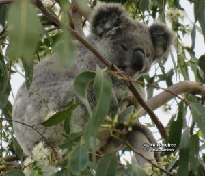 Stella is a female wild koala that lives in the forest red gum bush at Koala Gardens