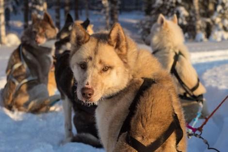 Borealis_chiens