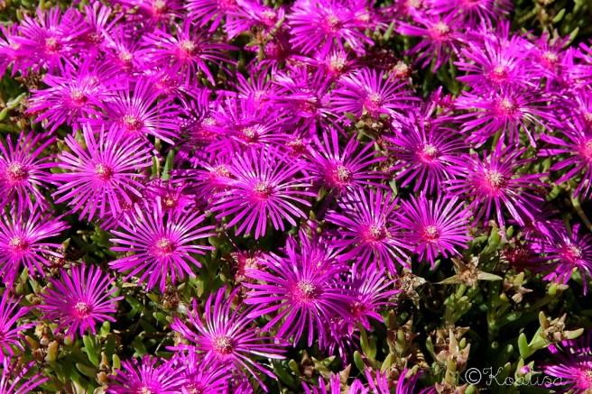 fleurs lancieux