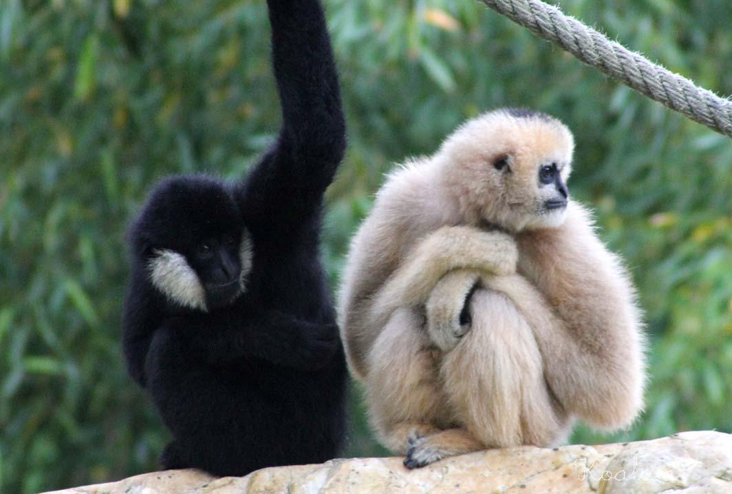 gibbons