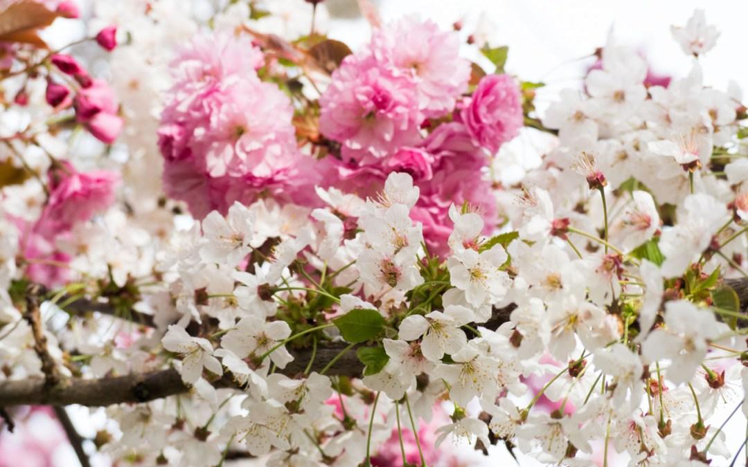 Un cerisier à fleurs roses et blanches en bas de ma rue