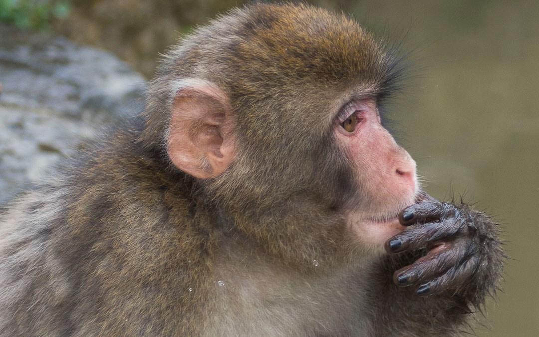 Iwatayama, la montagne aux singes