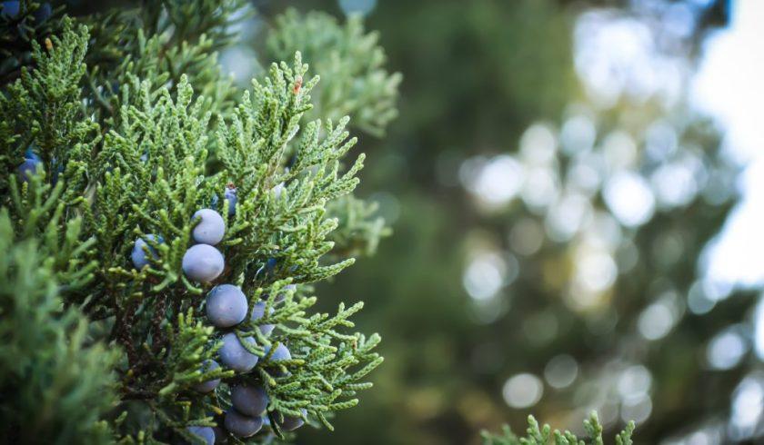 Close up of berries on a juniper bush.