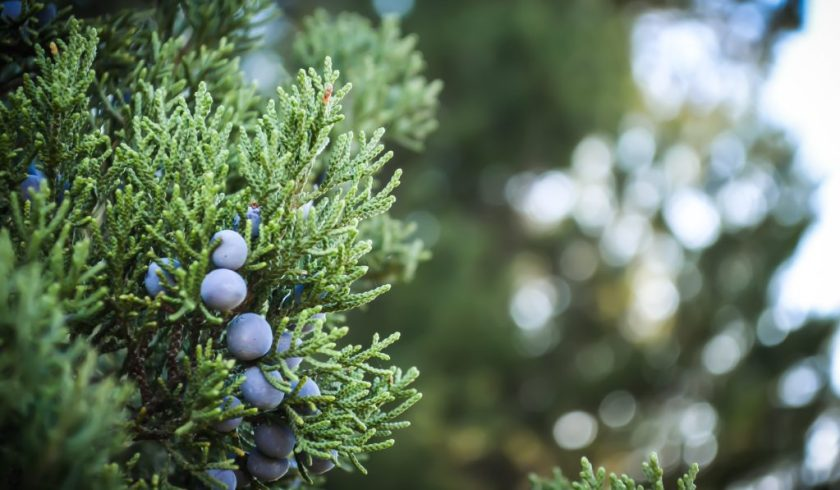 Close up of berries on a juniper bush.