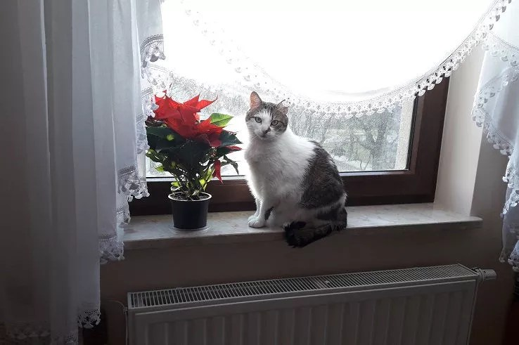 Kot przy gwieździe betlejemskiej - poznaj sposób na tanie potrawy na wigilię