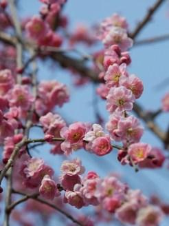 Inabe City Plum Tree Festival