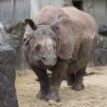 【動画あり】【東山動物園】インドサイに大接近!インドサイ舎見学ツアーに参加してきました