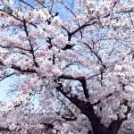 【動画あり】桜満開!山崎川 名古屋の桜の名所 DJI OSMOで撮影 2016.4.2(Sat)
