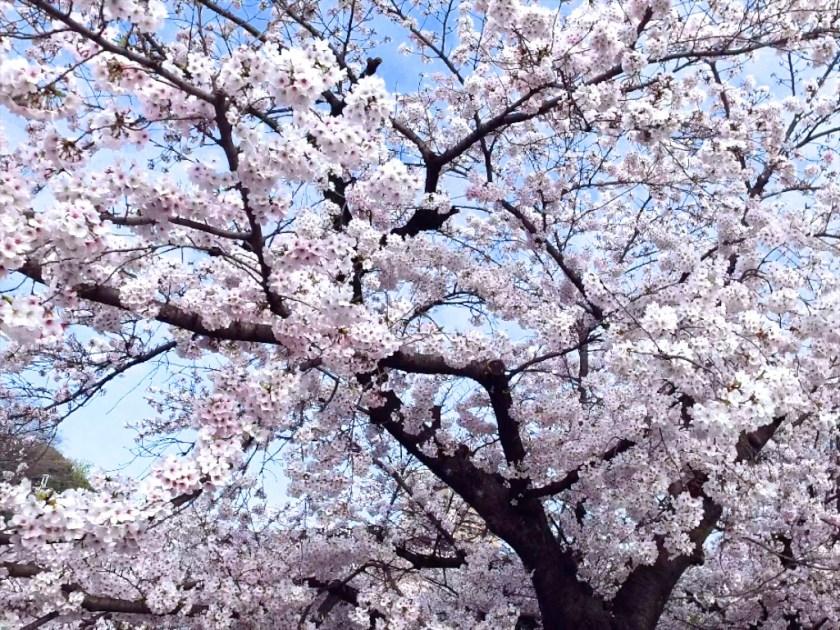 Yamazaki River Sakura