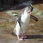 【ペンギン日記】【動画あり】くしゃみするイワトビペンギン (東山動物園) 2016.7.2(Sat)