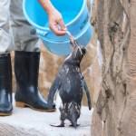 【ペンギン日記】【動画あり】餌を食べるイワトビペンギン (東山動物園) 2016.7.3(Sun)