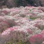 4,000本の梅が咲き乱れる!いなべ市農業公園梅まつり 2017/3/25