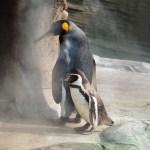 【ペンギン日記】ついにカップル誕生?フンボに恋するオウサマペンギン(東山動物園) 2017/6/11