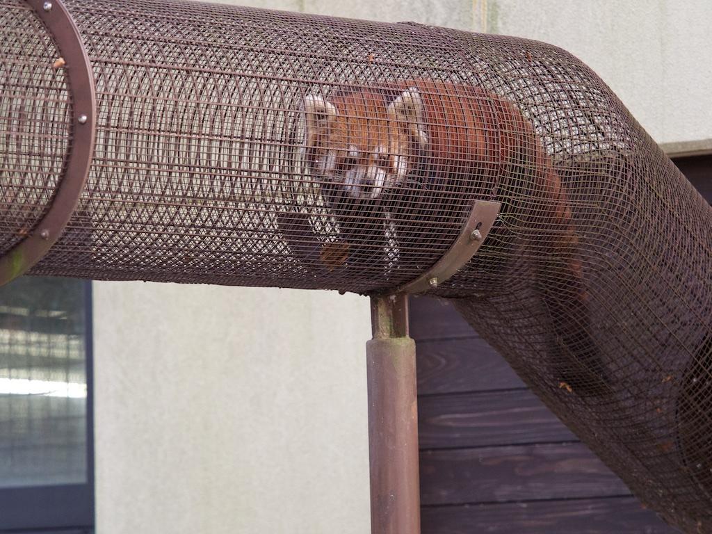 京都市動物園 レッサーパンダ