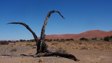 Markante Signatur eines abgestorbenen Kameldornbaumes
