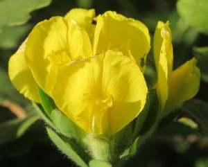 Cytisus austriacus