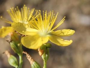 Hypericum origanifolium flowers