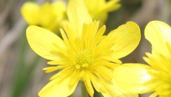 Ranunculus gracilis