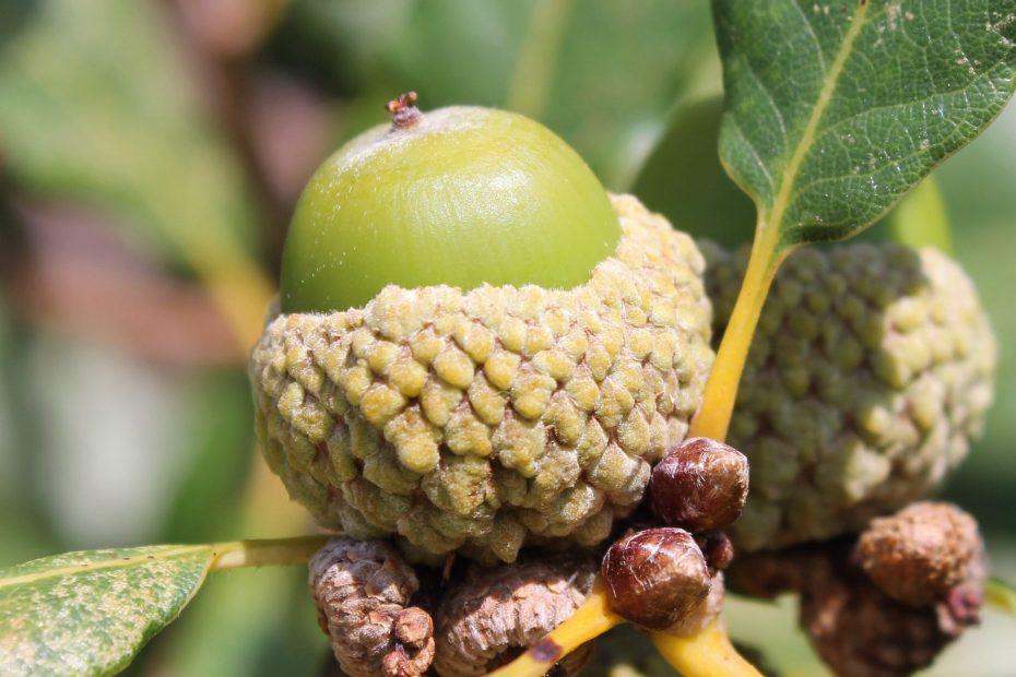 Quercus petraea subsp. iberica