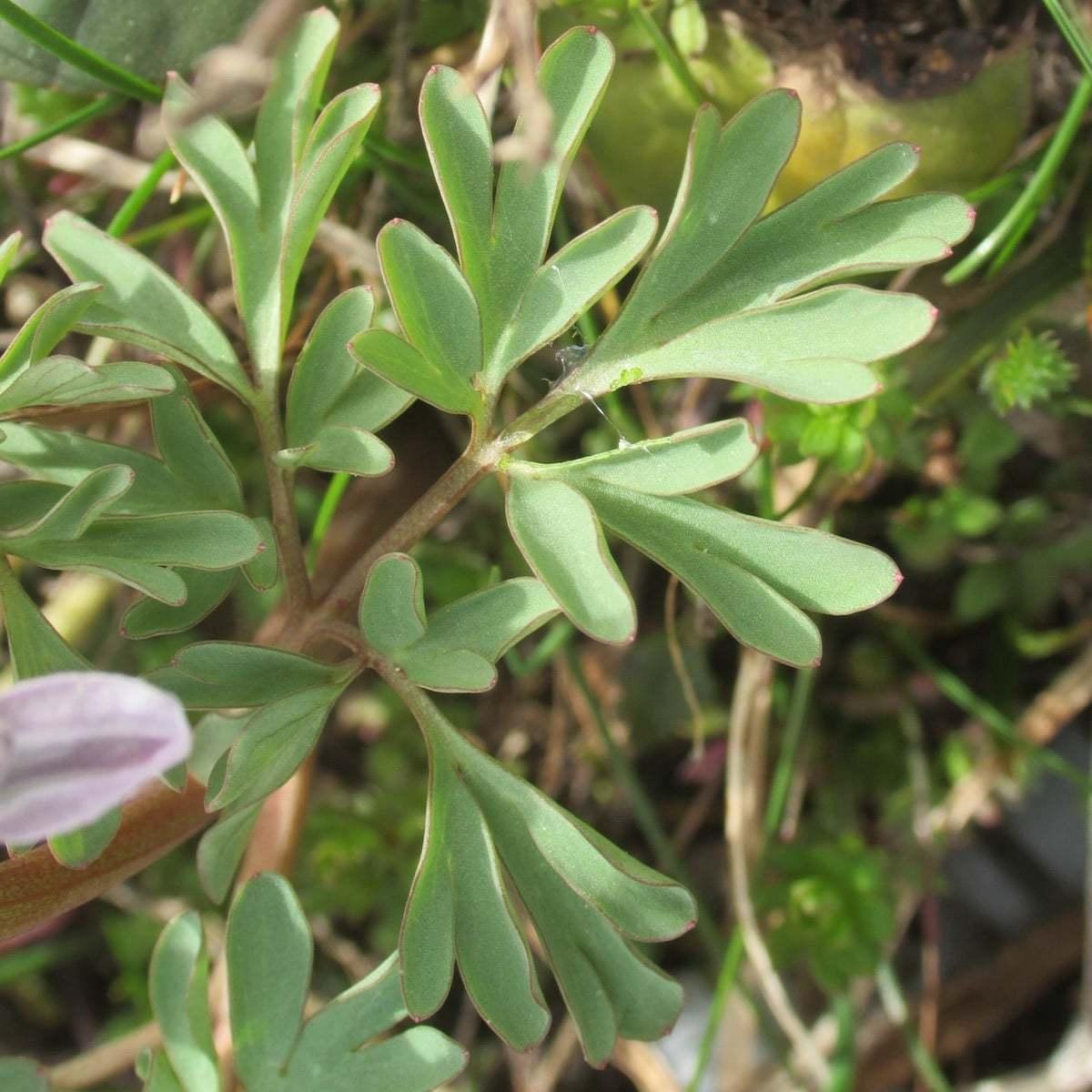 Corydalis wendelboi