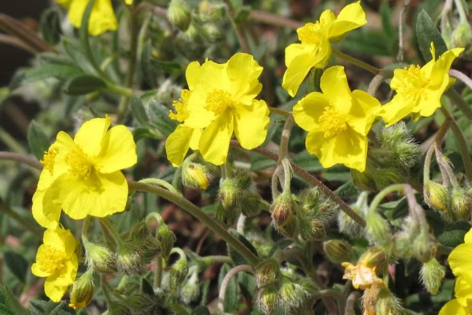 Helianthemum oelandicum subsp. incanum