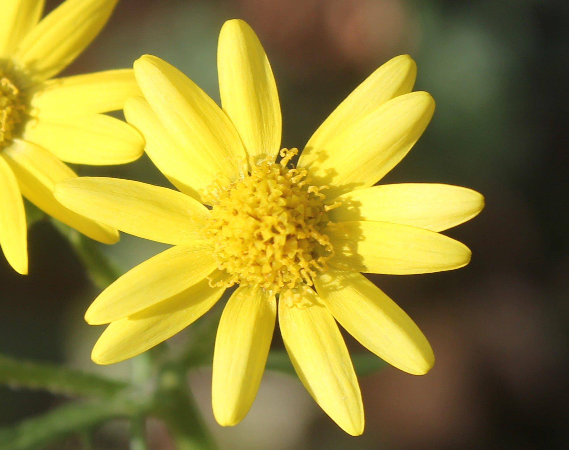 Senecio leucanthemifolius subsp. vernalis