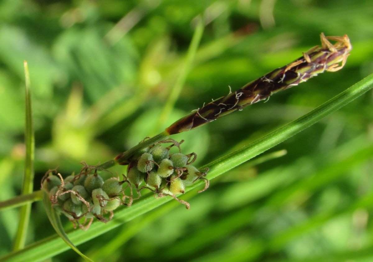 Carex filiformis