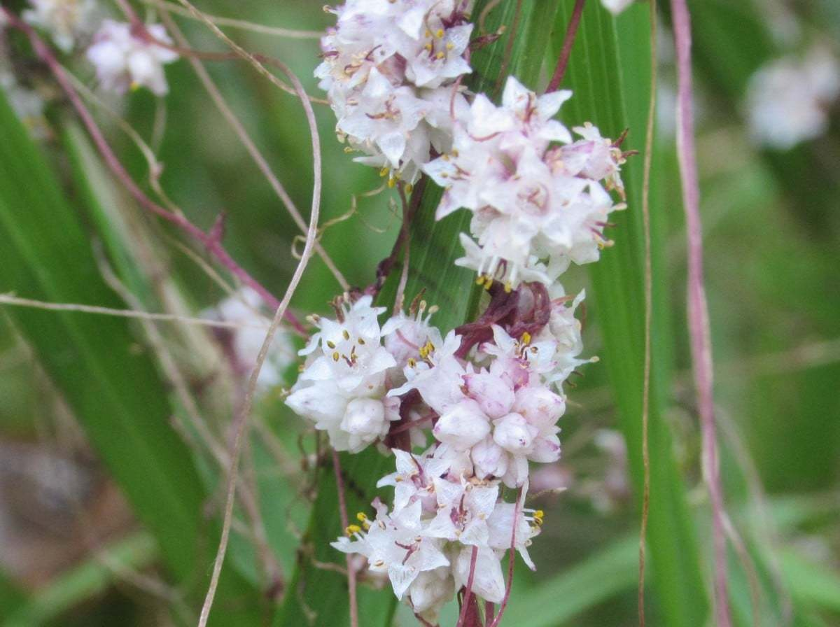 Cuscuta planiflora