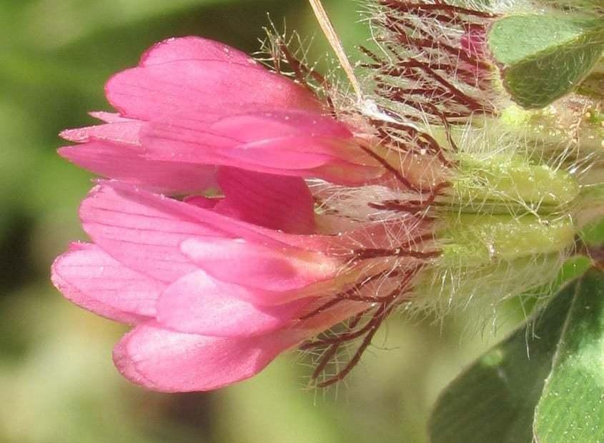Trifolium pauciflorum