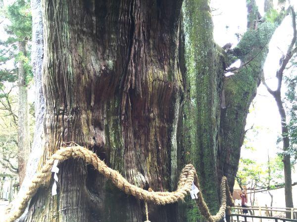 """嶺北にある""""日本一の大杉""""と言われる「杉の大スギ」が想像以上に大きかった【大豊町】"""