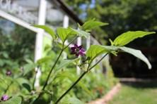 Die Blüte des Behaarten Chili