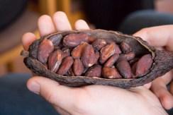So sehen Kakaobohnen roh aus