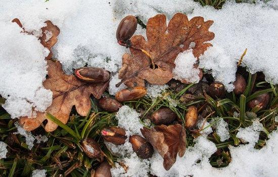 Eicheln ernten – mitten im Winter