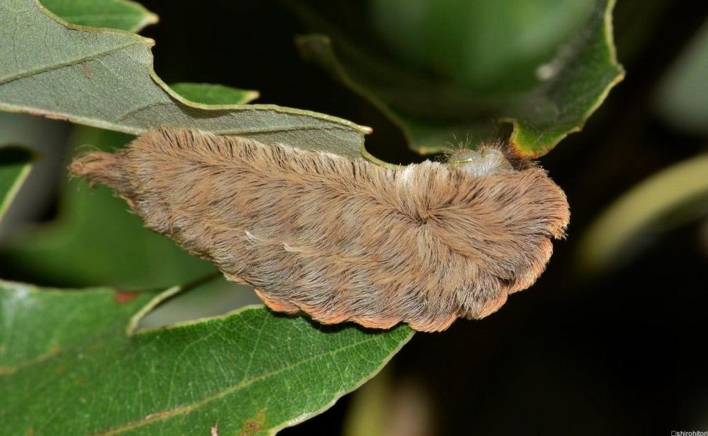 の 幼虫 フランネル モス サザン もふもふの「プス・キャタピラー」は猛毒注意