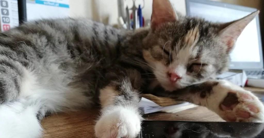 Kot Servano śpi na biurku.