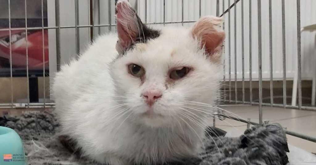 Biały kot Niente w lecznicy weterynaryjnej